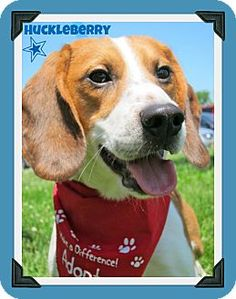 Huckleberry, an adoptable beagle in central NJ. http://www.adoptapet.com/pet7228291.html