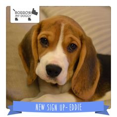 Live in Gloucestershire and want to lend a helping paw to a Beagle puppy? Then #NewDoggySignUp Eddie is the pooch for you!