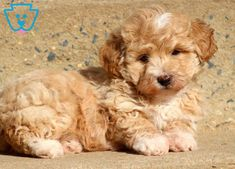 Bentley | Maltipoo Puppy For Sale | Keystone Puppies