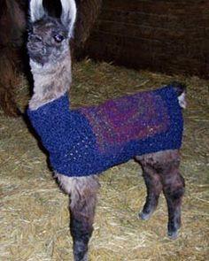 Llama Halters For Sale - Lashs Unique Animals Unique Animals, Goats, Goat
