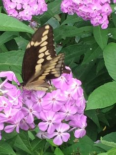 Giant swallowtail on phlox.
