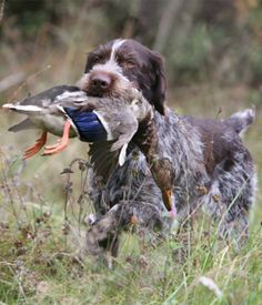 German Wirehaired Pointer breed info,Pictures,Characteristics,Hypoallergenic:No