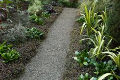 'Platt's Black' New Zealand brass buttons hug the sides of this gravel path and provide a subtle texture in the garden, showing off paler or brighter plants like the yellow-striped phormiums. Photo: Jacqueline M. Koch