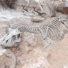 t-rex skeleton unearthed