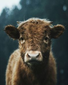 cows are so adorable