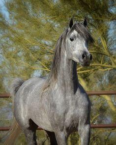Sweet horse face. Malik El Jamaal :: Arabian Horses of Stonewall Farm