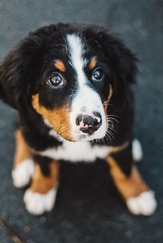 Beautiful Bernese pup, my dream dog Animals And Pets, Baby Animals, Cute Animals, Cute Puppies, Dogs And Puppies, Pet Dogs, Dog Cat, Baby Dogs, Puppy Eyes
