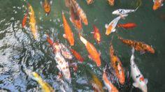 Karppi allas Fish, Pets, Animals, Nice, Animais, Animales, Animaux, Pisces, Animal