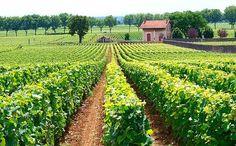 Chardonnay di Borgogna nella sua dimora elettiva #Borgogna, #ChardonnayDiBorgogna, #CôteD'Or, #CôteDuBeaun, #Cru, #GranCru, #Terroir http://eat.cudriec.com/?p=85