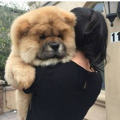"""""""Mi piace"""": 933, commenti: 2 - The Official Page Chowchow. (@worldofchowchow) su Instagram: """"Teddy Bear #Worldofchowchow -Tag the person u would gift it pup """""""