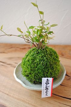no planters needed for these cute little kokedama (moss plants). complete on their own.