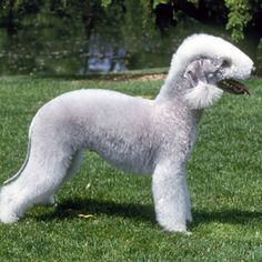 Bedlington Terrier - Small Dog Breed Profile