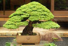 Iwasaki Bonsai Tree .