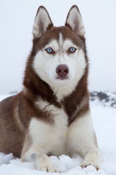 12 Dogs With Absolutely Breathtaking Blue Eyes