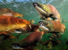 Sockeye Salmon Alaska Great Migration : Photos of Incredible Animal Migrations : Condé Nast Traveler
