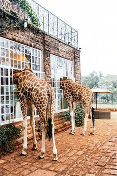 Giraffe Manor Kenya is the famous boutique hotel with giraffes in Nairobi. Here you can enjoy breakfast and tea with our resident herd of Rothchild giraffe. Into The Wild, Oh The Places You'll Go, Places To Travel, Places To Visit, Giraffe Manor Hotel, Giraffe Hotel Africa, Africa Travel, Kenya Travel, African Safari