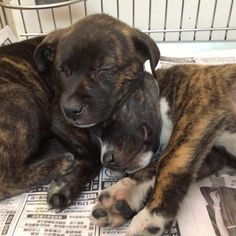 How cute are these puppies? We didn't want to bother them from their nap! Who wants to disturb them and take them home? #GetYourRescueOn #adoptus #adoptablepuppies #puppylove #naptime #NorthShoreAnimalLeague
