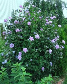 SHRUB: Rose of Sharon (Hibiscus Syriacus) For under my mothers willow Home Garden Plants, Garden Soil, Garden Landscaping, Purple Plants, Sun Plants, Rose Of Sharon, Plant Sale, Trees And Shrubs, Planting Seeds