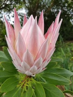 Looking for garden inspiration and ideas? Many Proteas are ideal for small gardens, pots and containers. They are also very popular with florists and cut flower growers. Protea Plant, Protea Flower, Australian Flowers, Australian Plants, Exotic Flowers, Beautiful Flowers, Desert Plants, Florists, Small Gardens