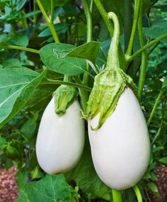 "White Eggplant Seeds - "" Casper "" From France, Heavy yields of Fruits - Organic ! Eggplant Plant, Growing Eggplant, Thai Eggplant, Eggplant Seeds, Baby Eggplant, Green Fruit, Fruit And Veg, Fruits And Veggies, Ripe Fruit"