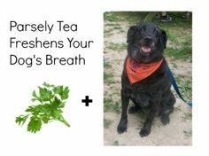 Home Remedies Parsley tea to freshen you dog's breath - 14 Pet Home Remedies From Your Kitchen - Pet Dogs, Dogs And Puppies, Pets, Doggies, Dog Breath, Pet Life, Animal Faces, Home Remedies, Natural Remedies