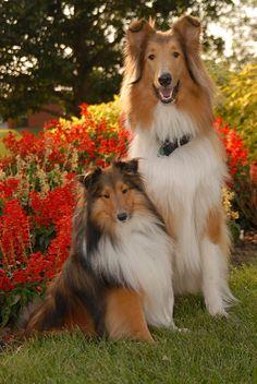 Dogs - Shetland Sheepdog/Sheltie and a Rough Collie.