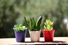 jakie wybrać rośliny do ogrodu w szkle aby ładnie wyglądało Low Light Succulents, Blooming Succulents, Planting Succulents, Ponytail Palm Tree, Zebra Plant, Snake Plant, Low Lights, Houseplants, Organic Gardening