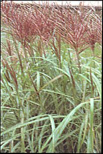 silver or maroon red grasses zone 4 | Red Silver Maiden Grass