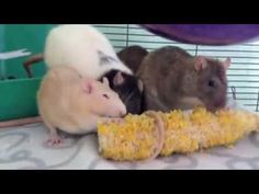 What not to feed your rats.while watching ratties enjoying corn on the cob ! Rat Harness, Rat Facts, Rat Care, Animals And Pets, Cute Animals, Classroom Pets, Rat Toys, Fancy Rat, Rabbit Cages