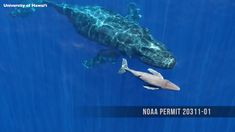 Rare video shows a baby humpback whale swimming with its mom minutes after birth – Animal Planet Nature Animals, Animals And Pets, Funny Animals, Cute Animals, Strange Animals, Orcas, Whale Video, Amor Animal, Rare Videos