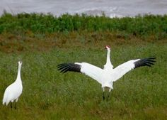 Picture of Whooping Crane (Grus americana)--I love them!