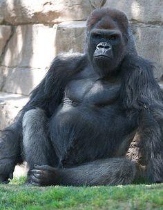 Winston, the silverback lowland gorilla at San Diego Zoo