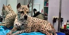 There are various different ways to create a cheetah appearing dog. Including dyeing.