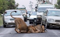 Traffic comes to a standstill as two lions decide to roll around in the middle of a road on the edge of the Nairobi National Park in Kenya. Commuters were forced to watch the ten-minute display, before the lions left the road.    Picture: Gareth Jones / Barcroft Media (via Pictures of the day: 11 February 2013 - Telegraph)