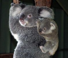Kola bears are so cute!