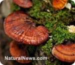 BOOST OVERALL HEALTH BY EATING REISHI MUSHROOMS. This type of mushroom has antiviral, analgesic, anti-diabetic, cardiovascular, anti-parasetic and antifungal properties that make it beneficial for those who are aiming to improve their overall health. The phytochemicals present are also said to be effective in preventing a variety of diseases. It also works as an adaptogen which is known as a substance effective in reducing the major consequences linked to physical, emotional and mental…