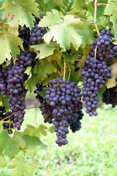 """Parreiras de Uvas no Jardim"" (Vines of Grapes in the Garden) Grape Health Benefits, Color Splash, Vides, Growing Grapes, Vitis Vinifera, In Vino Veritas, Wine Making, Fruit Trees, Vine Fruit"