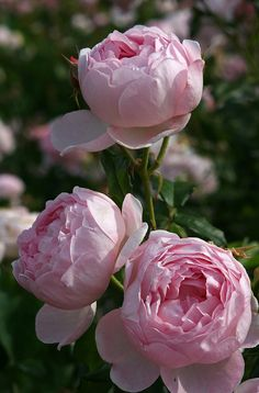 From shabby roses to English roses ... For Saturday, let's do English gardens and cottages.
