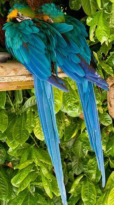 Twin parrots by Tony Cornish., via Flickr