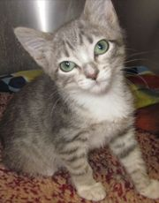 Adoptable Cat: Franklin - Domestic Short Hair (McCall, ID) #pets #animals #adoption #rescue #cat