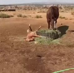 Tagged with funny, horses; No fucks to be found in this field. Animals Of The World, Animals And Pets, Funny Animals, Cute Animals, Majestic Horse, Beautiful Horses, Funny Animal Videos, Animal Memes, Cute Baby Horses