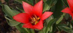 Tulipan botaniczny - Botanical tulip