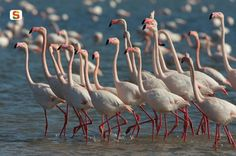 Stagno di Santa Gilla, pink flamingos