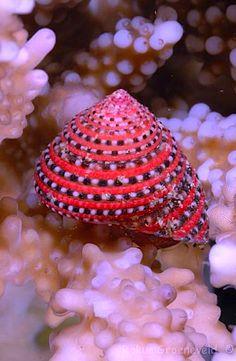 Strawberry Top-shell - ©Rokus Groeneveld - www.diverosa.com/Egypt%20Marsa%20Alam%202012/index1.html