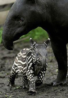 llbwwb:    Tapir Baby and Mum,by Andrew Milligan.