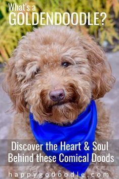 What is a Goldendoodle? Learn why Goldendoodle owners just can't get enough of these loveable doodle dogs and what makes them so special to their people. Poodle Mix Breeds, Poodle Puppies, Happy Doodles, Labradoodle, Goldendoodles, Doodle Dog, Dog Hacks, Therapy Dogs, Dog Agility