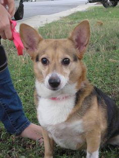 Meet Julie, a Petfinder adoptable Welsh Corgi Dog | Kyle, TX | Julie is a 3 year old, 3/4 Corgi, 1/4 Chihuahua (or so I was told---she also looks like she could...