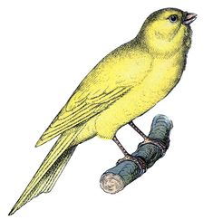 Vintage Clip Art - Sweet Canary - The Graphics Fairy
