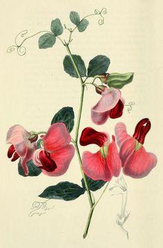 Lathyrus grandiflorus -The Two-Flowered Everlasting Pea. Richard Morris, 1826.