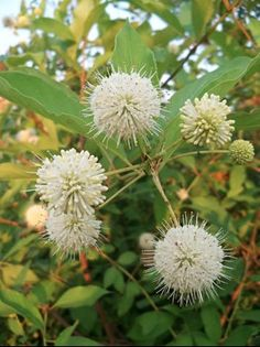 Buttonbush (Cephalanthus occidentalis) is flowering along the edges of rivers, streams and lakes, and it's a favorite nectar source for butterflies. In the garden it needs a moist to wet soil and will happily grow in shallow water.